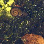 Tellerschnecken (Ramshorn Snails, Planorbidae)