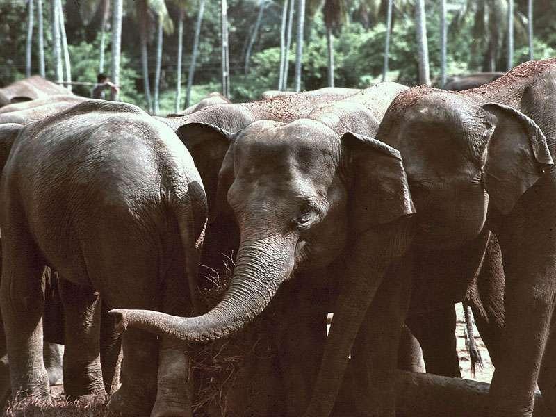 Elefanten in Pinnawala aus der Nähe betrachtet; Foto: Juni 1998, Kegalla