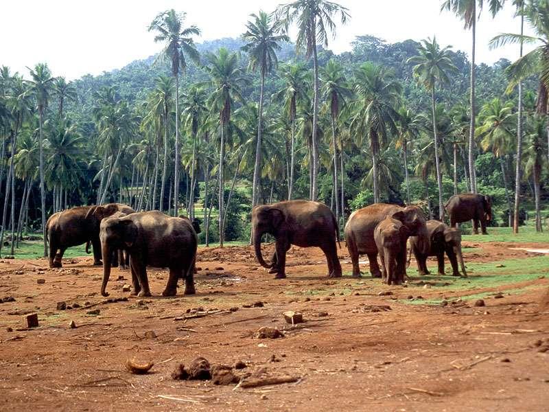 Elefantengruppe in Pinnawala; Foto: Juni 1998, Kegalla