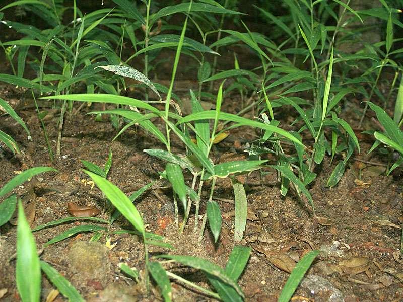 Ingwerpflanzen (Zingiber officinale); Foto: November 2006, Gewürzgarten Nähe Aluthgama