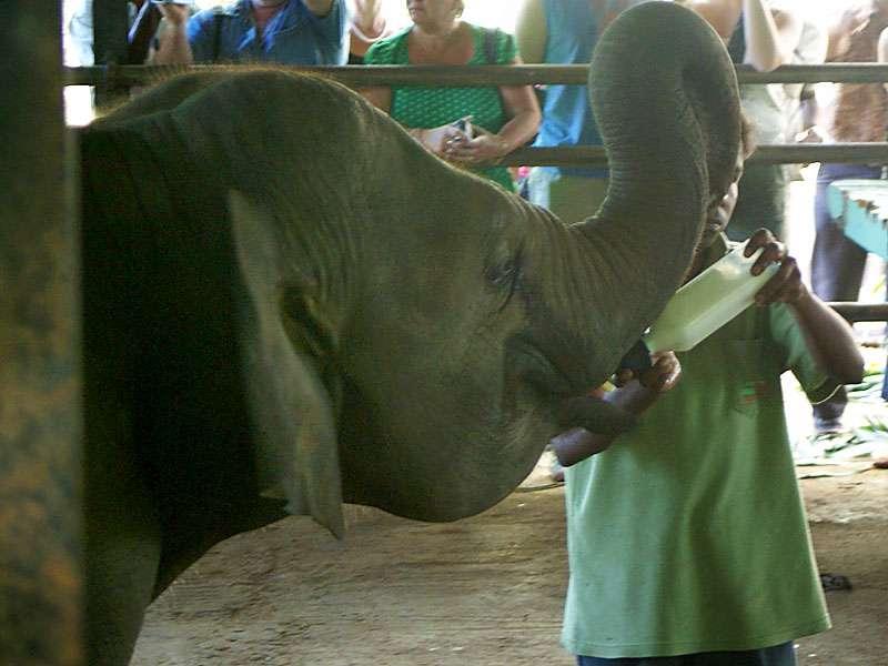 Dieser junge Elefant erhält eine Extraportion Milch; Foto: 09.11.2006, Kegalla