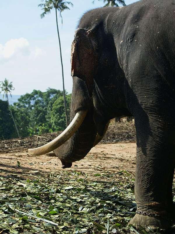 Der blinde Elefantenbulle Rajah ist an seinem Platz festgekettet; Foto: 09.11.2006, Kegalla