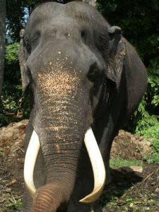 Nur wenige Asiatische Elefanten haben Stoßzähne. Wegen seiner wurde der Bulle Rajah von Wilderern angeschossen und verlor dabei sein Augenlicht; Foto: November 2006, Kegalla