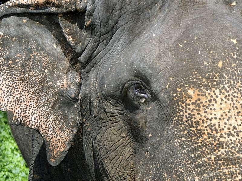 Wilderer haben den Bullen Rajah angeschossen, zwei Kugeln haben seine Augen zerfetzt; Foto: 09.11.2006, Kegalla