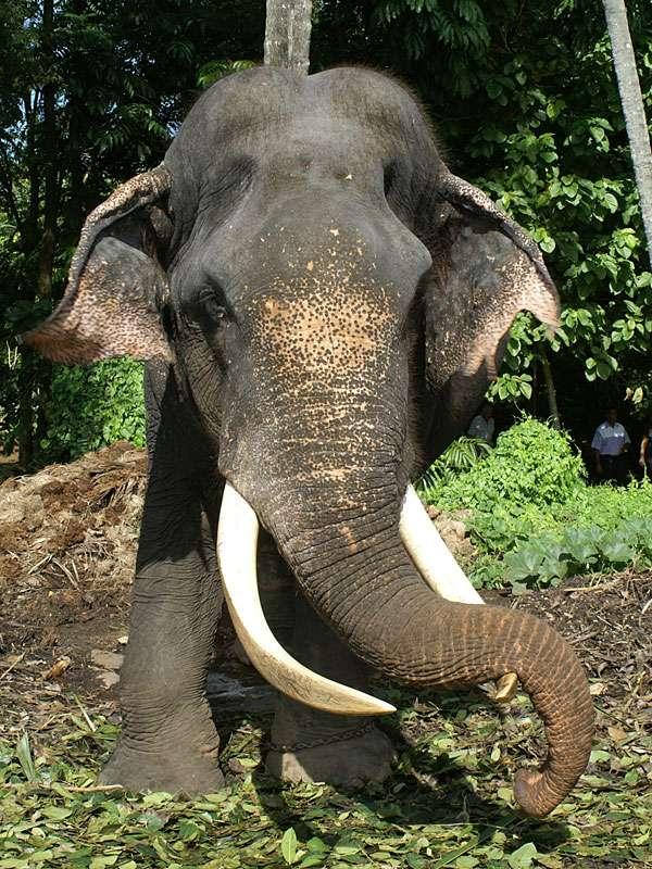 Der Bulle Rajah ist eine imposante Erscheinung - leider ist er aufgrund skrupelloser Wilderer blind; Foto: 09.11.2006; Kegalla
