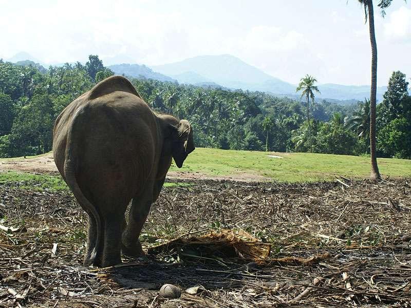 Sama, die gehandicapte Elefantenkuh von Pinnawela, blickt auf das Gelände; Foto: 09.11.2006, Kegalla