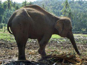 Eine Landminenexplosion hat den rechten Vorderfuß der Elefantenkuh Sama abgerissen; Foto: November 2006, Kegalla