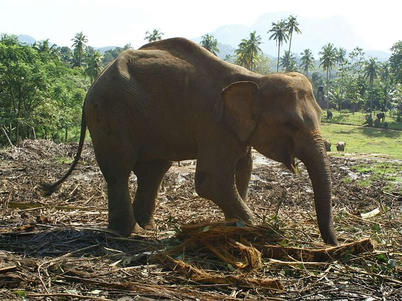 Elefantenkuh Sama an ihrem Futterplatz; Foto: 09.11.2006, Kegalla