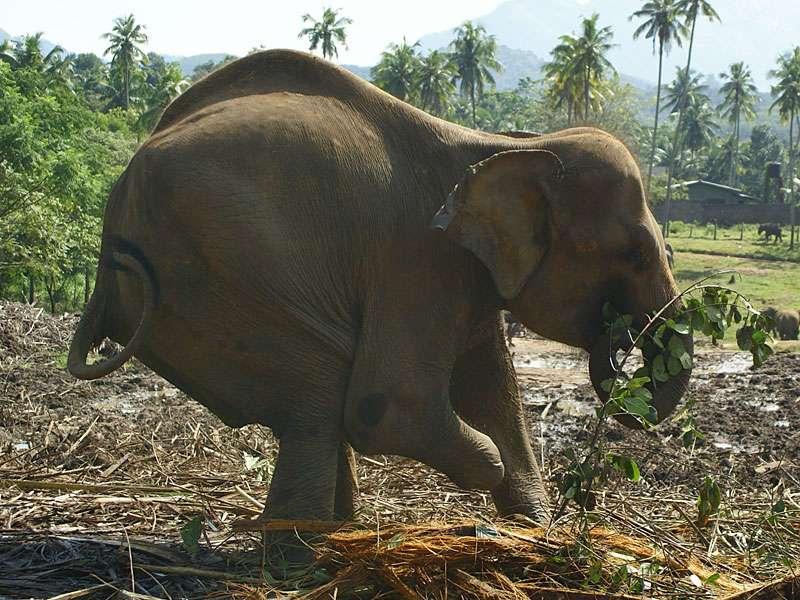Aufgrund des verkürzten rechten Vorderbeins hält Sama ihren Rücken sehr schief; Foto: 09.11.2006, Kegalla
