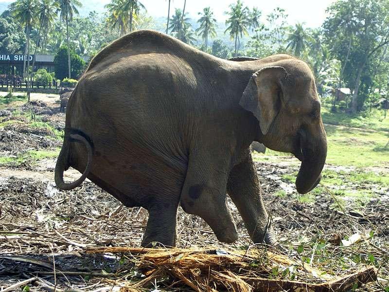 Elefantenkuh Sama wurde als Kalb Opfer einer Landmine; Foto: 09.11.2006, Kegalla