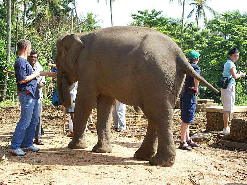 Ein Besucher hat offenkundig großen Respekt vor einem der Elefanten. Achtung, bevor man einen Elefant berührt, sollte man unbedingt mit einem Mahout (Elefantenführer) sprechen und sich ein zutrauliches Tier zeigen lassen, damit es nicht zu Unfällen kommt; Foto: 09.11.2006, Kegalla