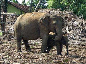 Zwei Elefanten im Pinnawala-Waisenhaus; Foto: November 2006, Kegalla