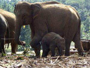 Im Elefantenwaisenhaus wurden schon Jungtiere gezeugt und geboren. Ist es vertretbar, dies zuzulassen und sie zeitlebens in Gefangenschaft zu halten? - Das fragen sich manche kritischen Besucher.; Foto: November 2006, Kegalla