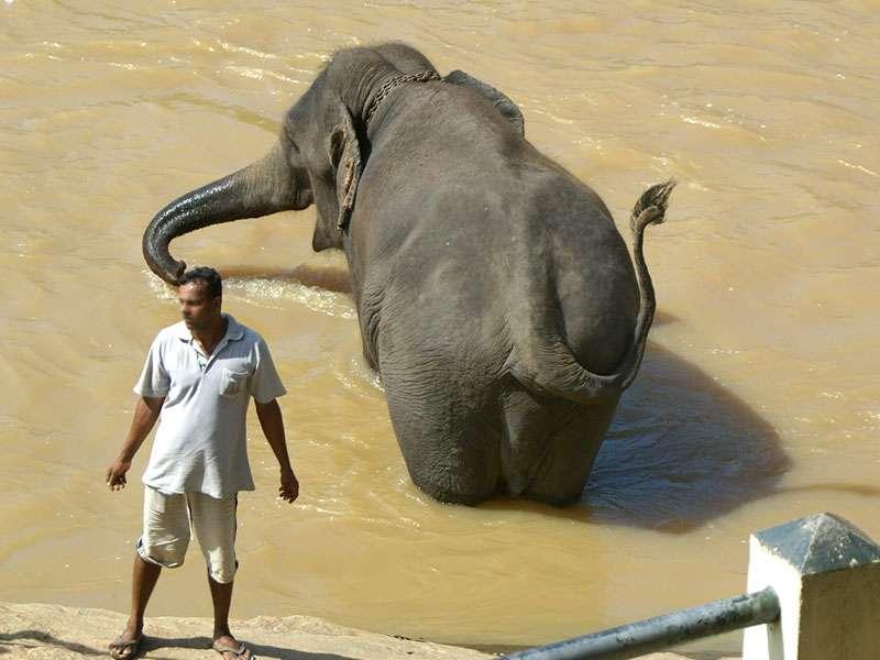 Dieser Arbeitselefant aus Pinnawala macht im Maha Oya eine Pause; Foto: 09.11.2006, Kegalla