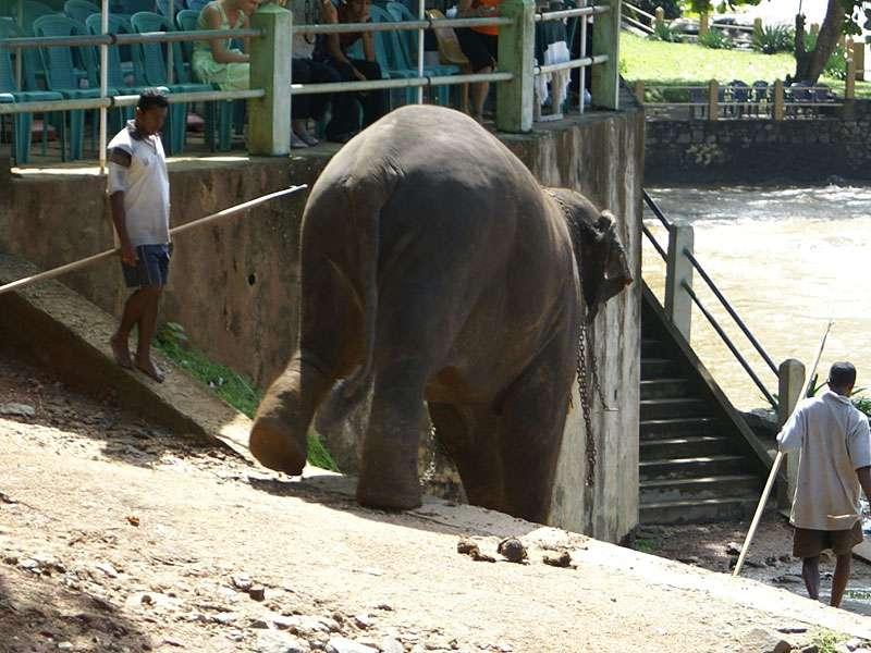 Der blinde Bulle Rajah steigt langsam zum Fluss hinab; Foto: 09.11.2006, Kegalla
