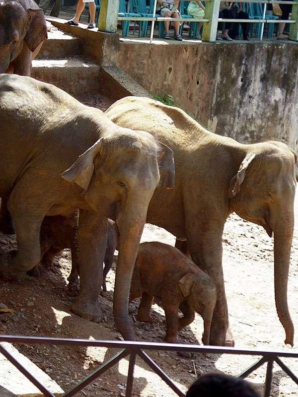 Fast am Ziel: die Elefantenherde wandert zum Baden an den Maha Oya; Foto: 09.11.2006, Kegalla
