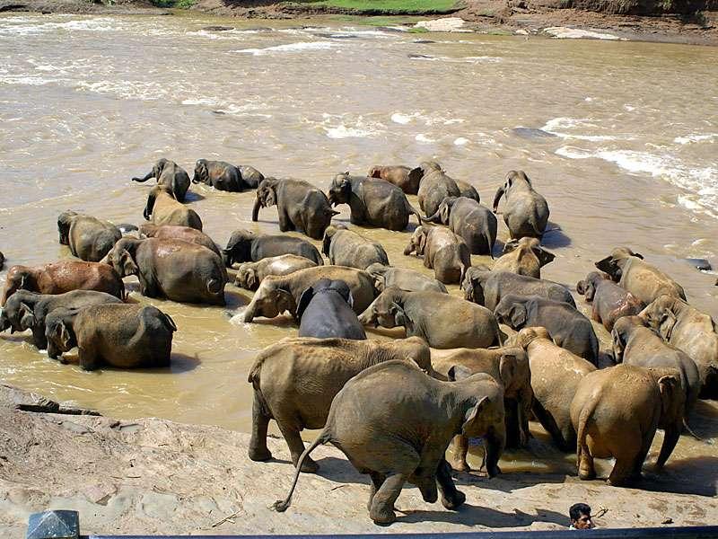Seite an Seite stehen die Pinnawala-Elefanten im Fluss und genießen das Bad; Foto: 09.11.2006, Kegalla
