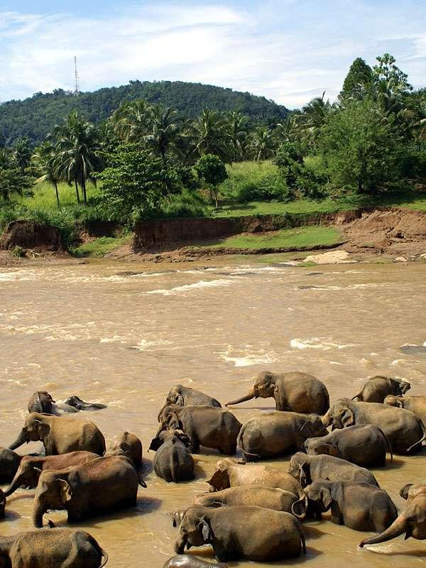 Bei den tropisch-heißen Temperaturen lieben die Elefanten ihr Bad im Fluss; Foto: 09.11.2006; Kegalla