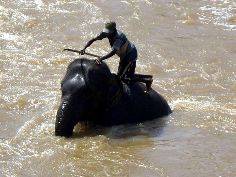 Manche Elefanten werden von den Mahouts geschrubbt, was die Tiere zu genießen scheinen; Foto: 09.11.2006, Kegalla