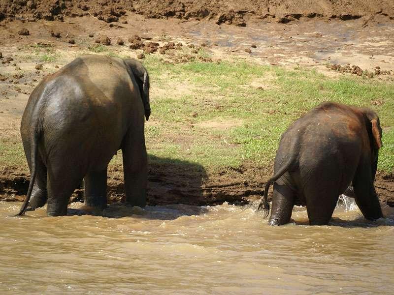 Zwei Elefanten auf Entdeckungstour: das andere Flussufer ist erreicht; Foto: 09.11.2006, Kegalla