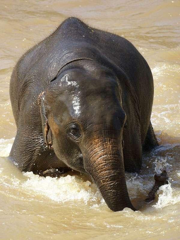 Obwohl der Fluss wegen des Hochwassers eine recht starke Strömung aufweist, hat dieser Elefant großen Spaß beim Baden; Foto: 09.11.2006, Kegalla