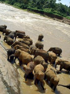 Das Bad im Maha Oya ist für die Elefanten von Pinnawala ein großes Vergnügen; Foto: November 2006, Kegalla