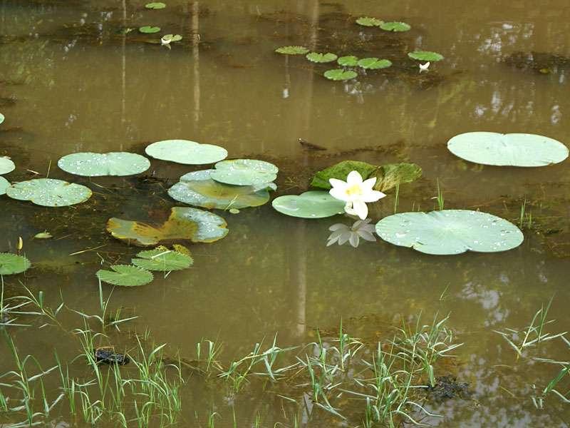 Im Wassergraben wachsen Seerosen und dort leben auch Frösche und Libellen; Foto: 10.11.2006, Sigiriya