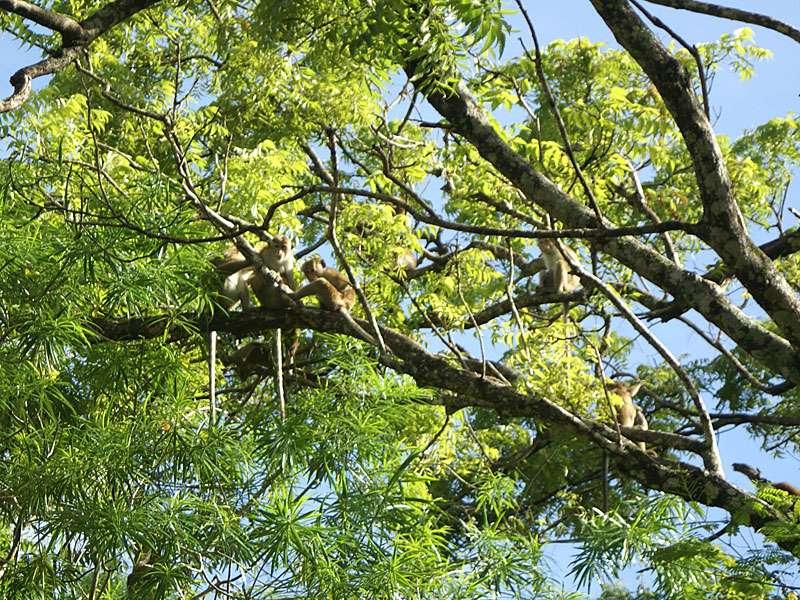 In den Bäumen am Wassergraben halten sich oft Ceylon-Hutaffen (Macaca sinica) auf; Foto: 10.11.2006, Sigiriya