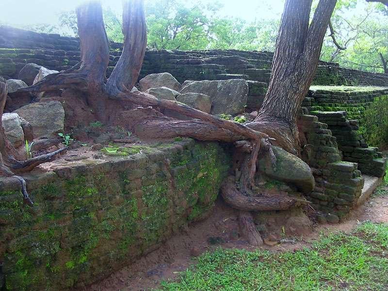 Baumwurzeln umschlingen mancherorts das Mauerwerk im Wassergarten; Foto: 10.11.2006, Sigiriya