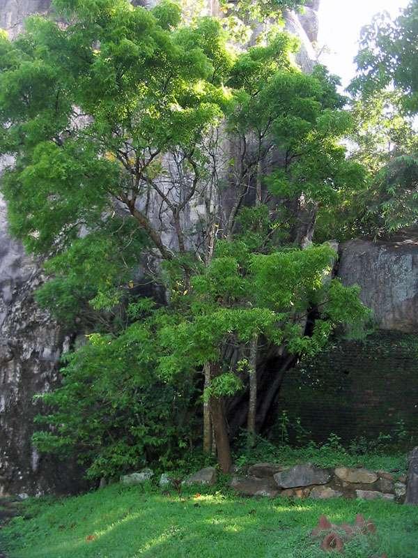 Überwucherte Mauer im Steingarten von Sigiriya; Foto: 10.11.2006, Sigiriya