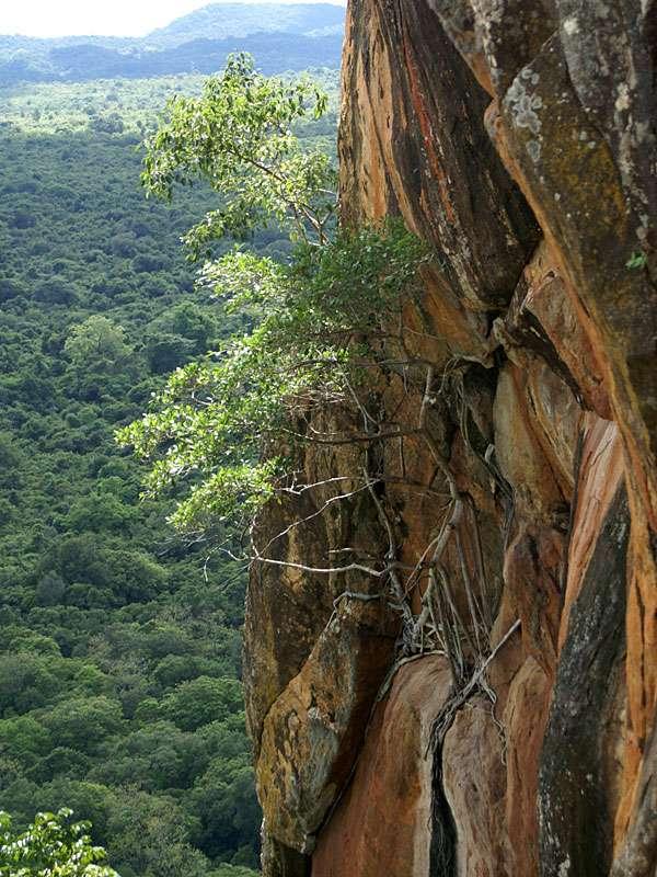 Vegetation an der Flanke des Sigiriya-Felsens; Foto: 10.11.2006, Sigiriya