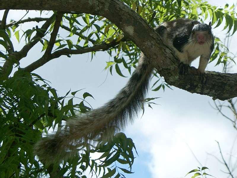 Sri-Lanka-Riesenhörnchen (Ratufa macroura dandolena) in der Gartenalage; Foto: 10.11.2006, Sigiriya