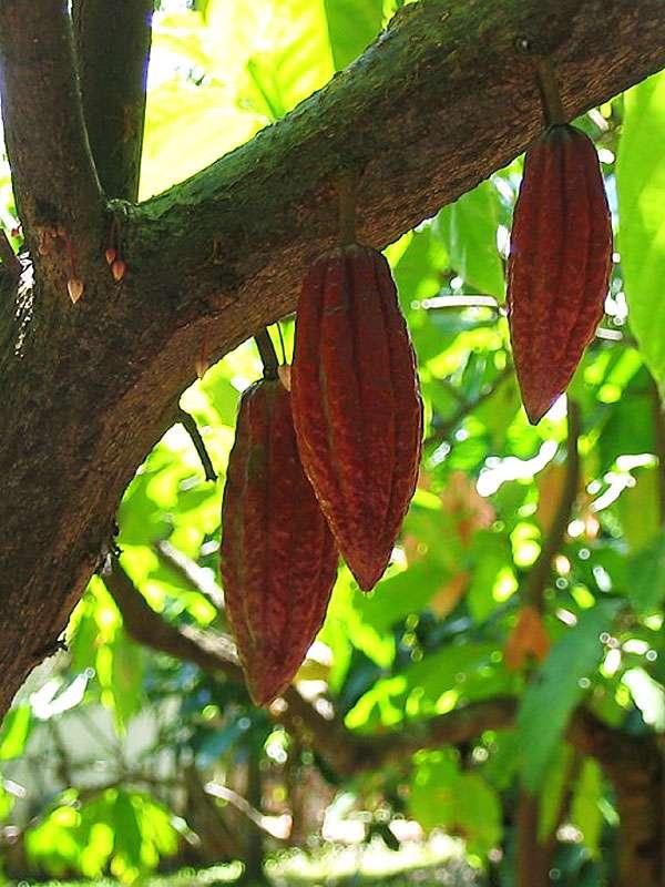 Kakaofrüchte und -Knospen (Theobroma cacao); Foto: November 2006, Gewürzgarten Lucky Land, Matale