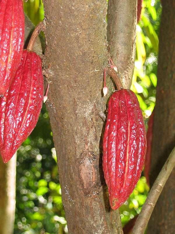Kakaoschoten und -Knospen (Theobroma cacao); Foto: November 2006, Gewürzgarten Lucky Land, Matale