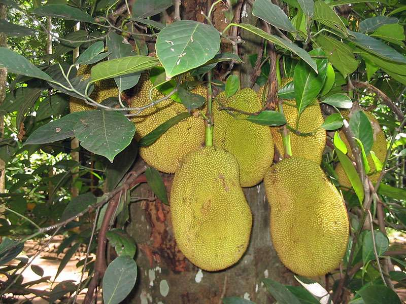 Jackfruchtbaum (Artocarpus heterophyllus); Foto: November 2006, Gewürzgarten Lucky Land, Matale