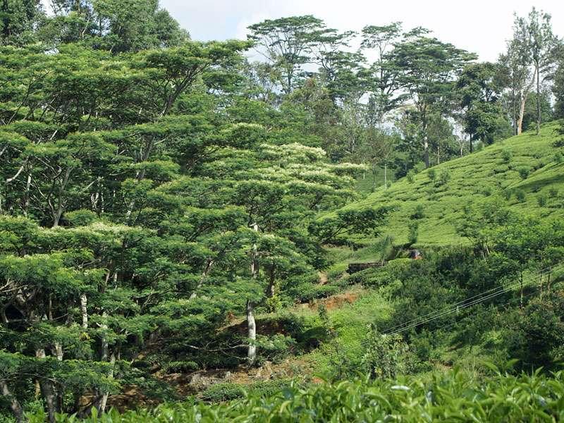 Vielerorts spenden hohe Bäume auf den Teeplantagen Schatten; Foto: 11.11.2006, Nähe Pussellawa
