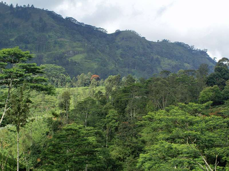 Die Landschaft im Hochland von Sri Lanka ist mit Teeplantagen durchsetzt; Foto: 11.11.2006, Nähe Pussellawa