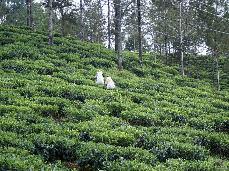 Teepflückerinnen auf dem Weg zu ihrem Arbeitsplatz; Foto: 11.11.2006, Nähe Pussellawa