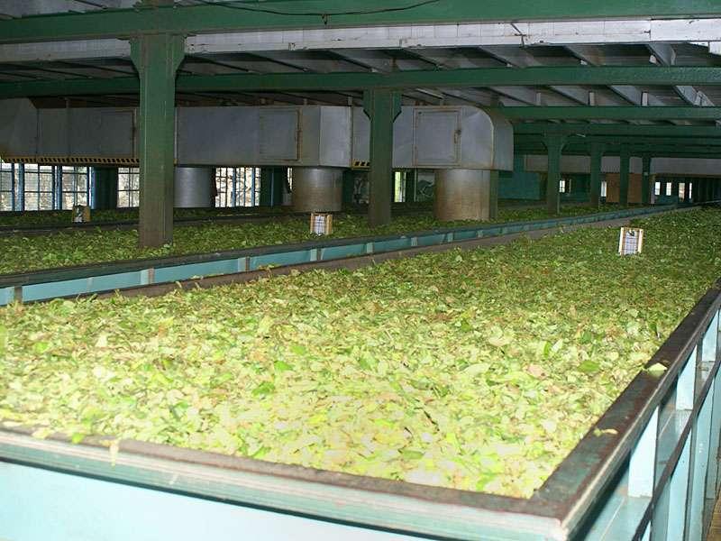 Hier strömt die heiße Luft von unten an die Teeblätter heran; Foto: 11.11.2006, Rambukkana