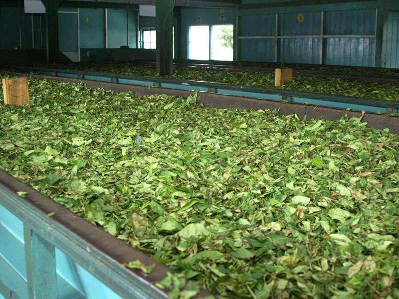 Am Anfang des Welkens sieht man den Teeblättern noch an, dass sie frisch vom Strauch kommen; Foto: 11.11.2006, Rambukkana