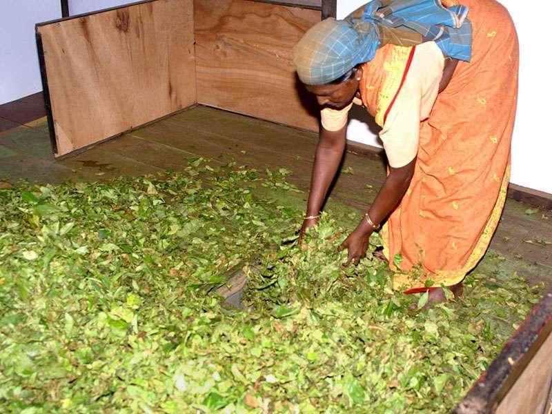 Aus den Körben der Teepflückerinnen werden die Blätter zusammengschüttet und durch ein Fallrohr eine Etage tiefer geleitet, wo sie welken sollen; Foto: 11.11.2006, Rambukkana