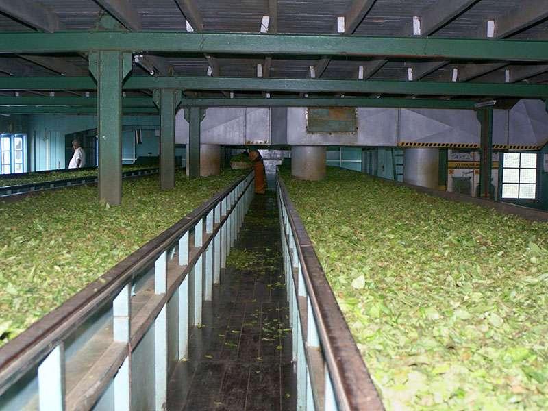 Der erste Schritt in der Verarbeitung des Tees ist das Welken der Blätter mit heißer Luft; Foto: 11.11.2006, Rambukkana