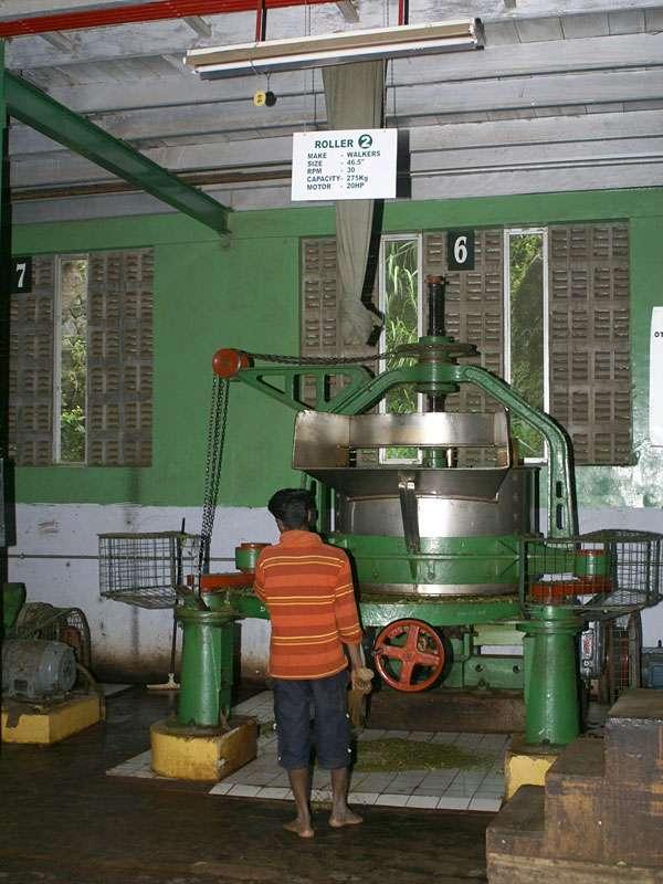 Nach der Trocknung werden die gewelkten Teeblätter gerollt, um sie aufzubrechen und so für die Fermentation vorzubereiten; Foto: 11.11.2006, Rambukkana