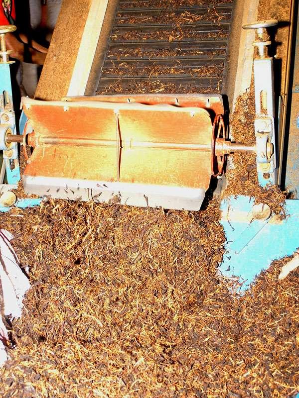 Durch das Fermentieren nimmt der Tee seine typische braune Färbung an und wird bald noch dunkler; Foto: 11.11.2006, Rambukkana