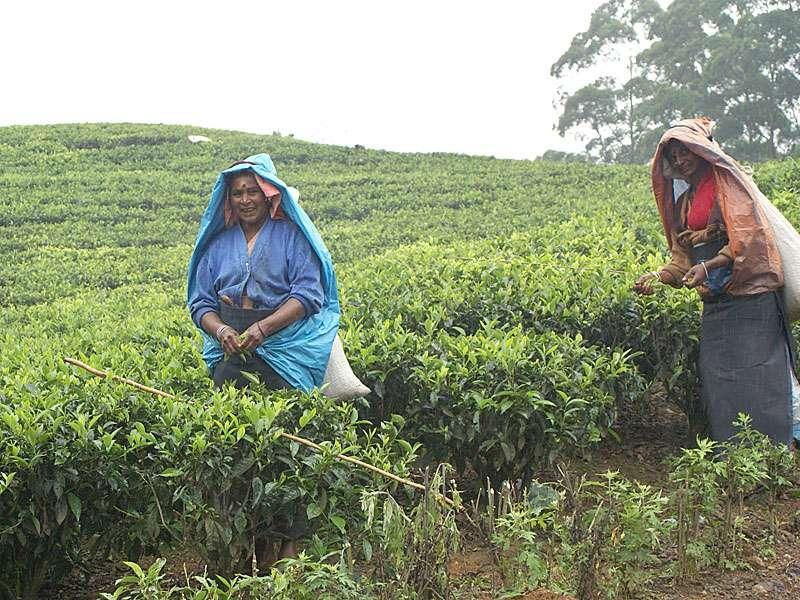 Die Arbeit der Teepflückerinnen ist hart; Foto: 11.11.2006, Nähe Pussellawa