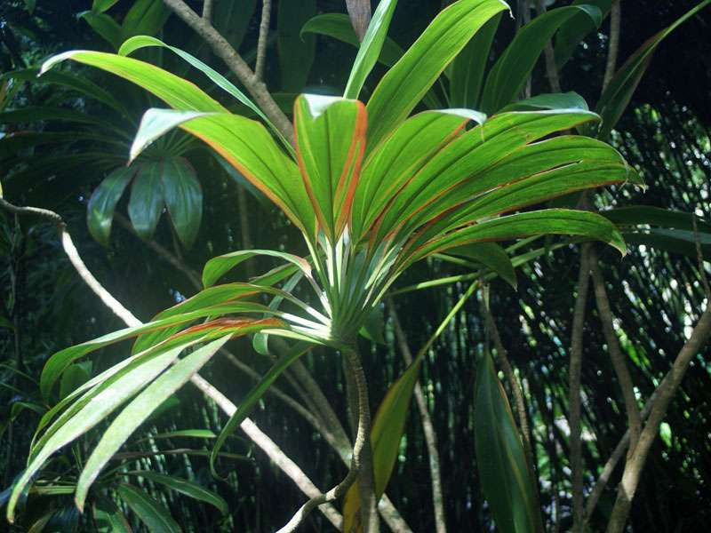 Pflanze im Brief Garden; Foto: November 2006, Kalawila
