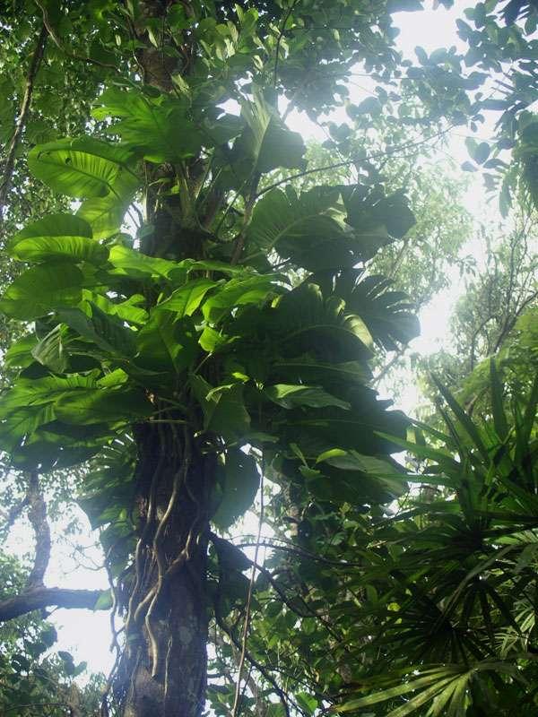 Riesige Monstera adansonii im Gegenlicht im Brief Garden; Foto: November 2006, Kalawila