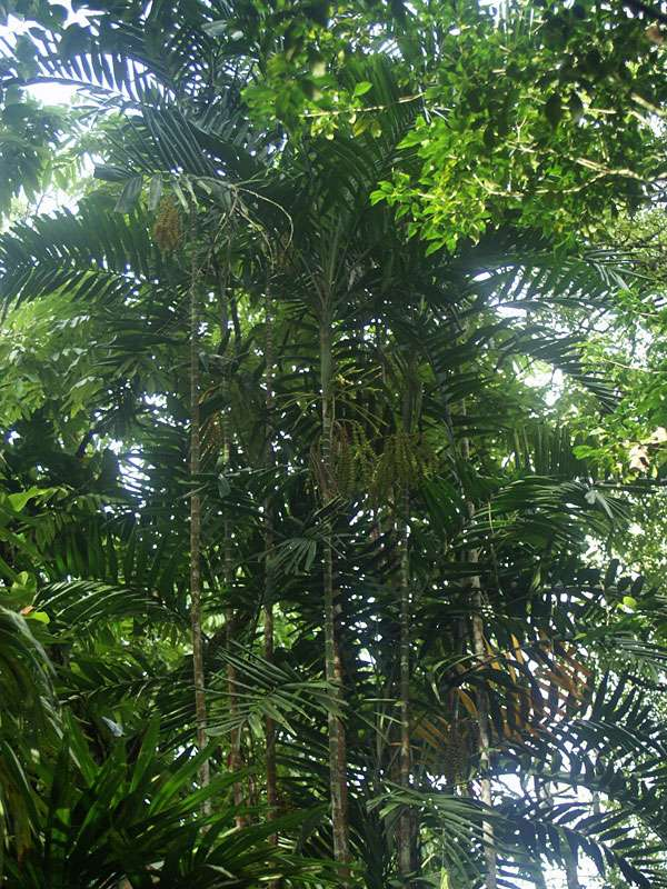 Palmen im Brief Garden; Foto: November 2006, Kalawila