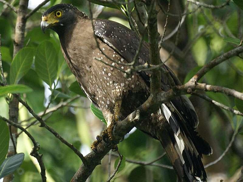 Schlangenweih (Spilornis cheela spilogaster) im Brief Garden; Foto: November 2006, Kalawila