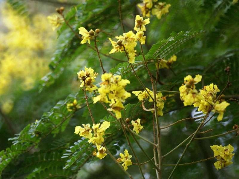 Gelb blühender Strauch im Brief Garden; Foto: November 2006, Kalawila